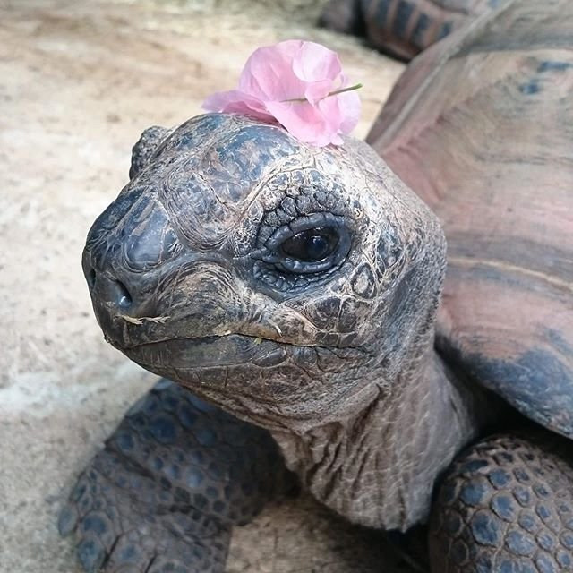 This is Helen the tortoise 🐢. She is a good girl. Go out and vote in support of Helene, vote for representatives that will help protect Helene's environment. 🥰 #tortoise #vote #cute #aww #canada #elxn2019