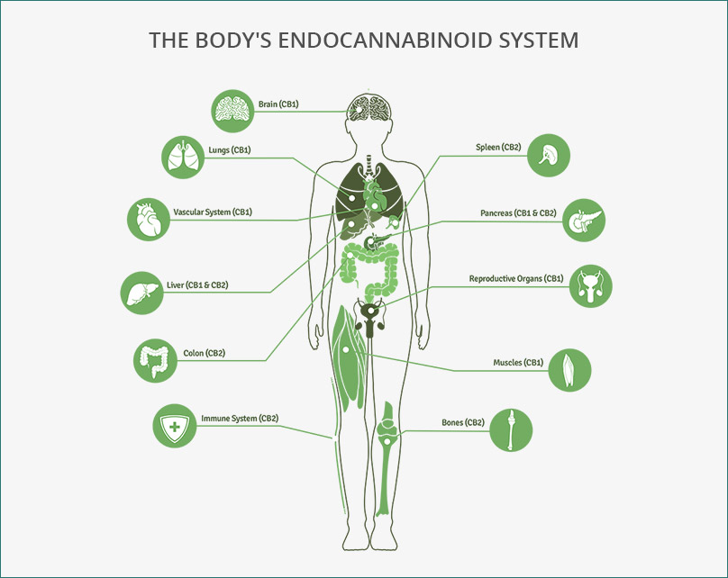 The cannabinoid system in the body, termed the endocannabinoid system. Reproduced from  Terravida .