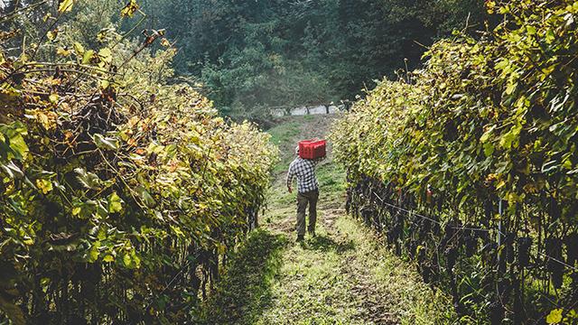 jon-picking-grapes.jpg
