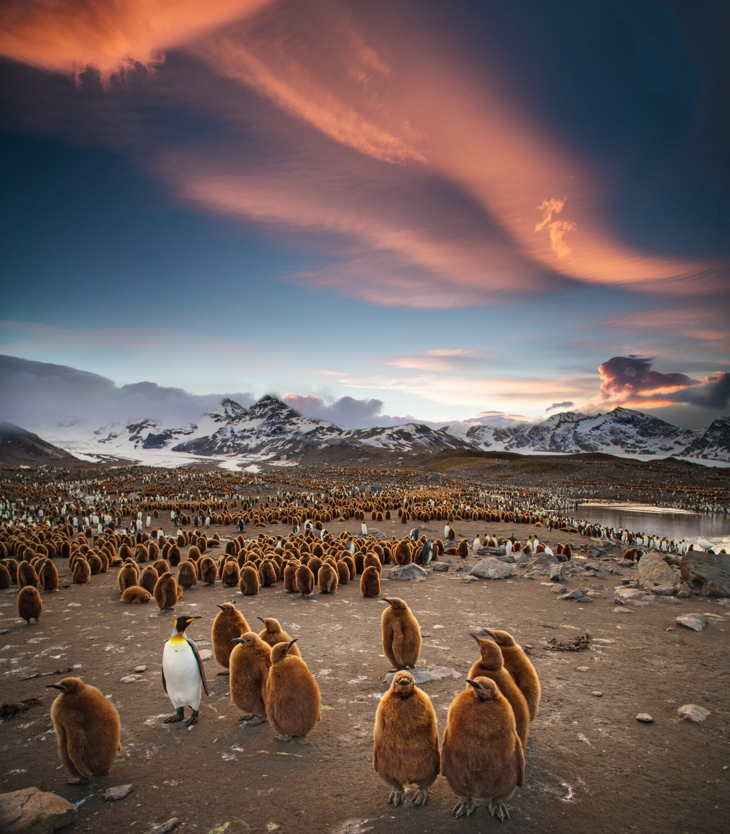 Many bird species, such as these king penguins, will form breeding colonies and nest together. Now, we have evidence to suggest that their ancestors were no different.