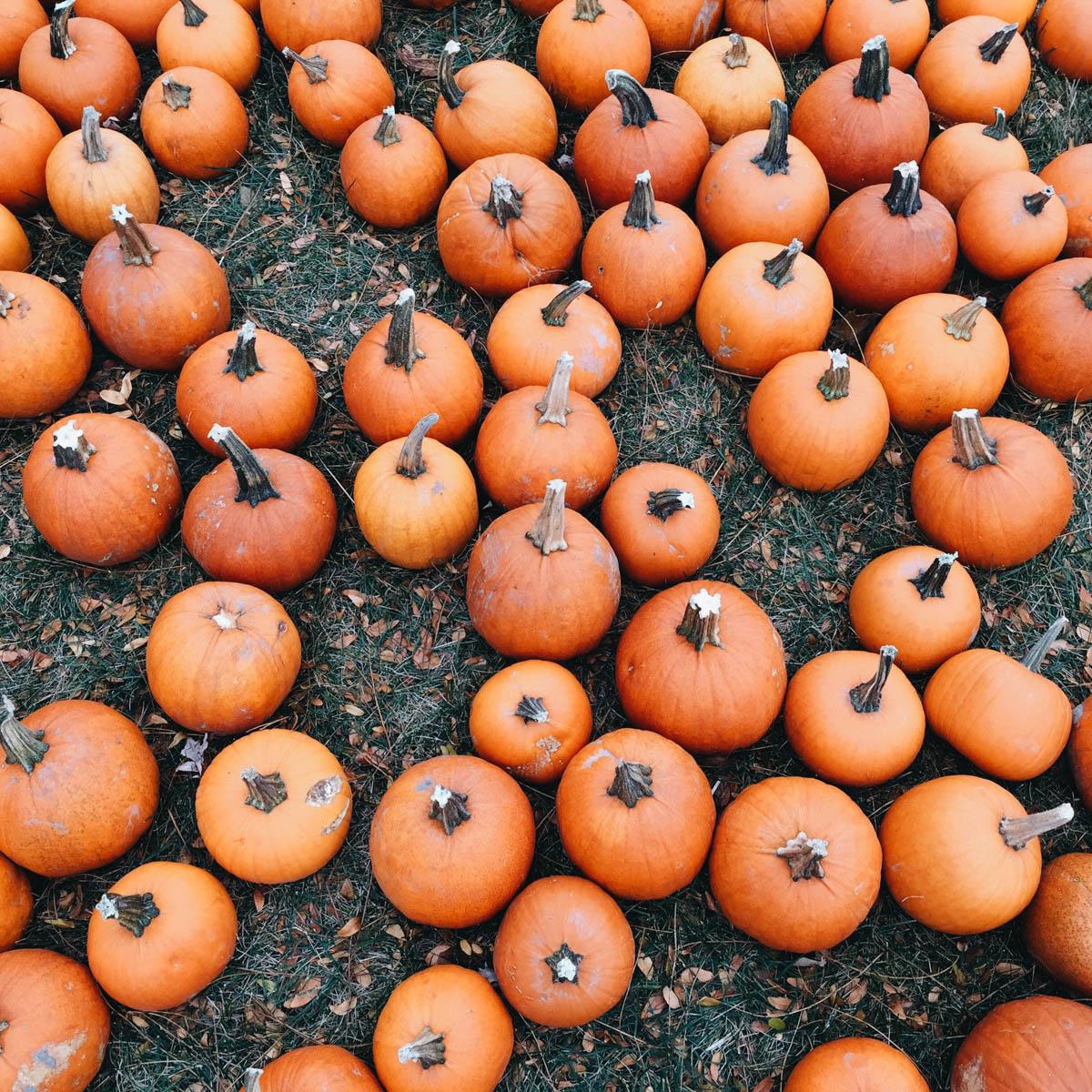 pyo-pumpkin-kent-pick-your-own-pumpkin-variety-support-local-magazine-orange.JPG