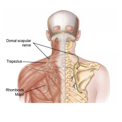 dorsal-scapular-nerve-final.jpg