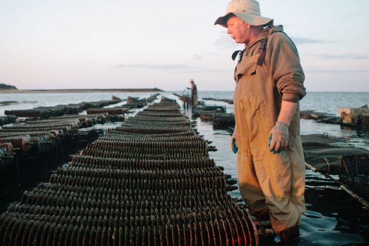 Oyster Farmer Looking at Crop in Wellfleet at Sunrise