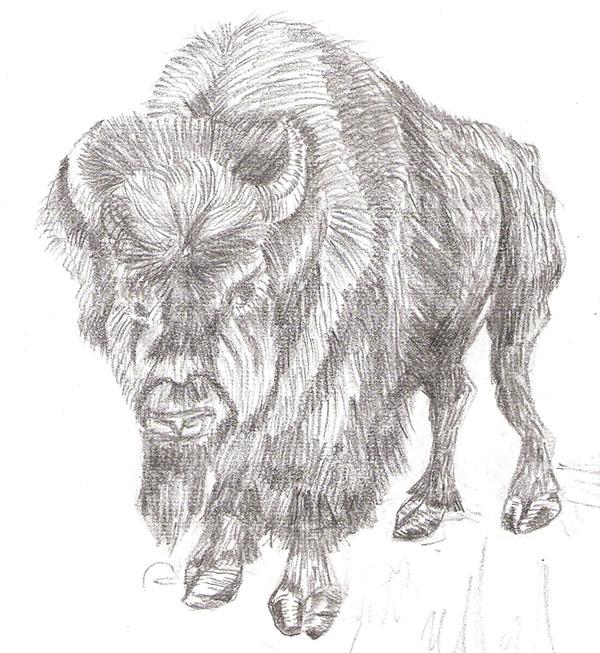 Buffalo - A pencil sketch.