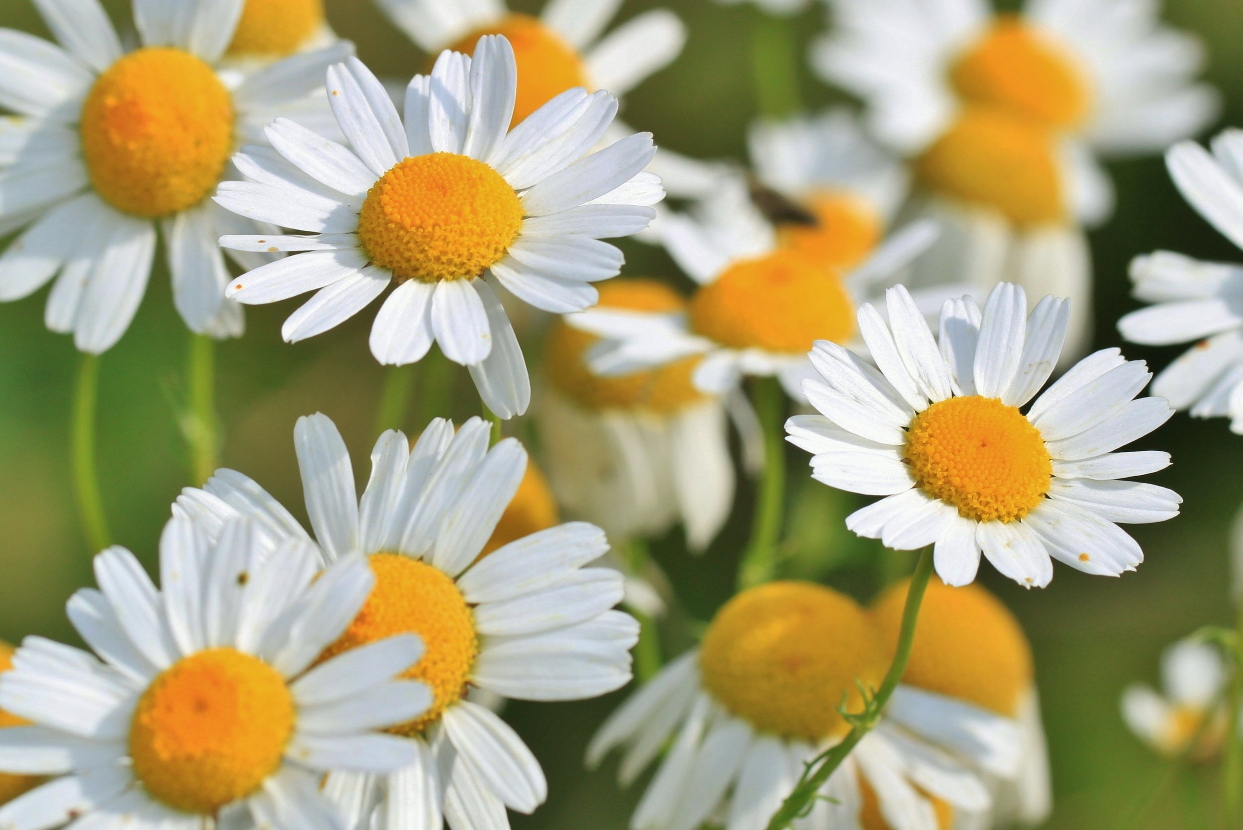 Chamomile is a wild edible found in Missouri. Who knew?