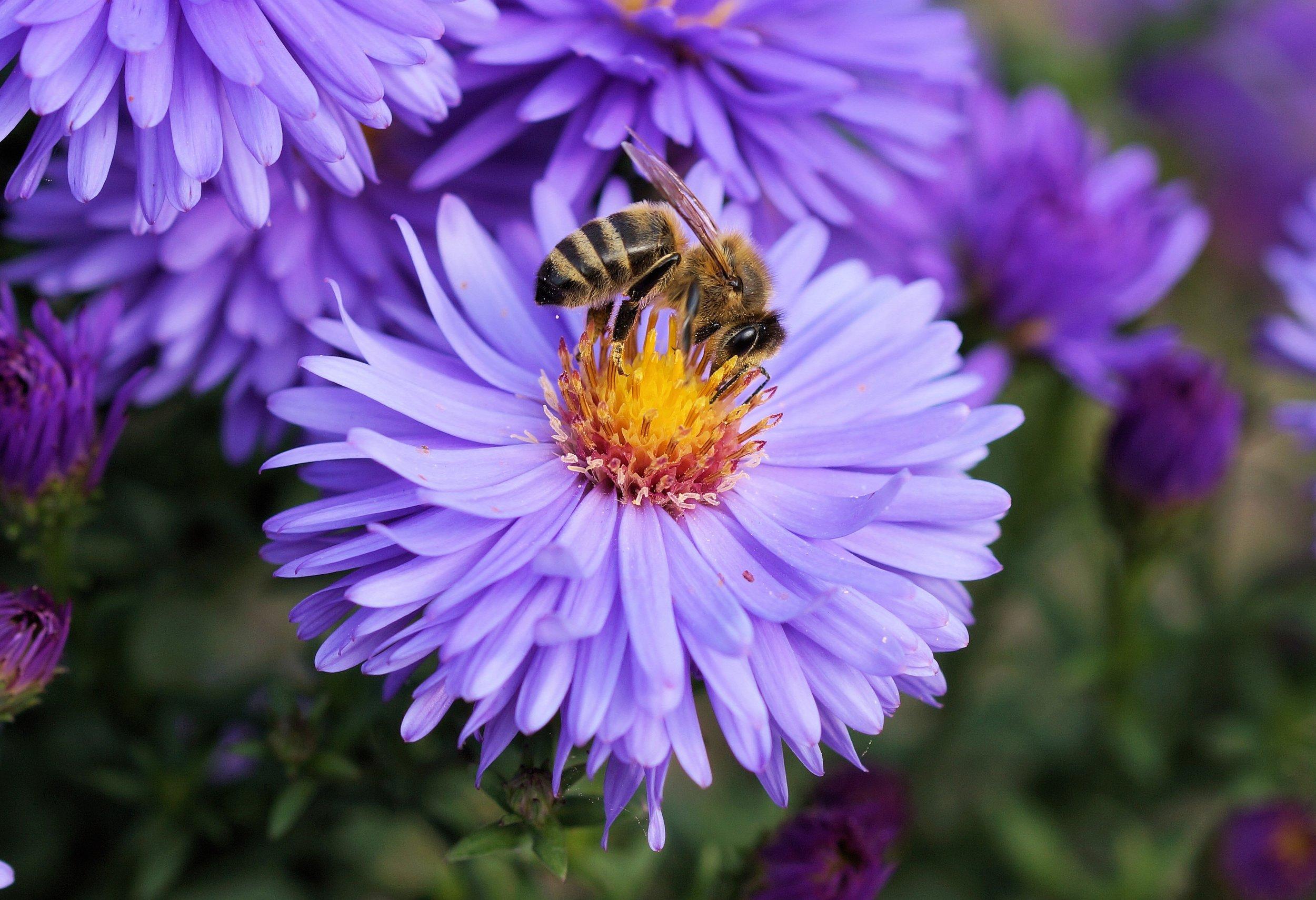 bee pollen pollinate flower.jpg