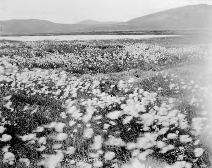 Field of Alaska cotton, Seward Peninsula, circa 1907 salmon lake().jpg