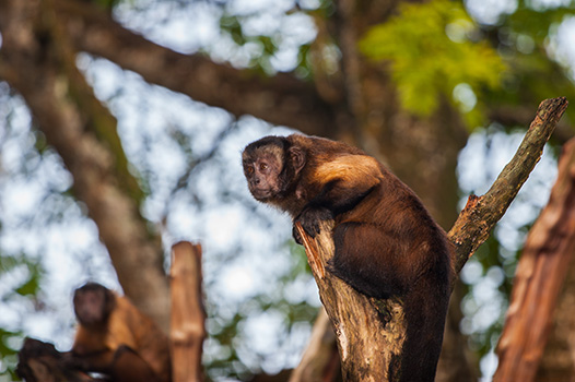 Using my trusty 70-200 to capture this Brown Capuchin having a stern expression.