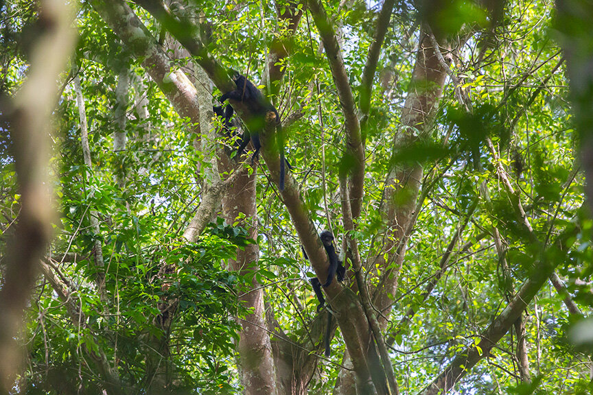 very lucky to spot Raffles' Banded Langur, a critical endangered species that is being closely monitor