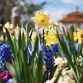 Daffodils and hyacinths in garden