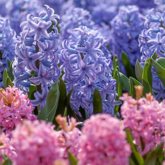 Purple and pink hyacinths in garden