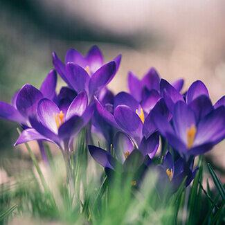 Purple Crocuses emerge in the spring