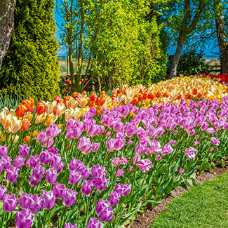Grouping of tulips in flowerbed