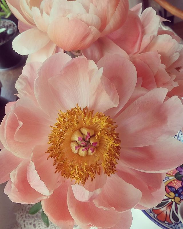 Rose de Meaux. The prettiest flowers I've ever been gifted. Happy spring!  #spring #pink  #rosedemeaux #rose
