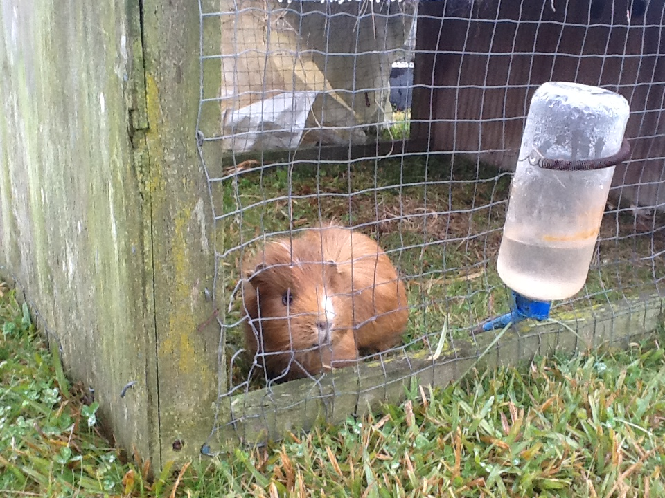 Flash, our much loved guinea pig loves his daily carrot from tamariki.