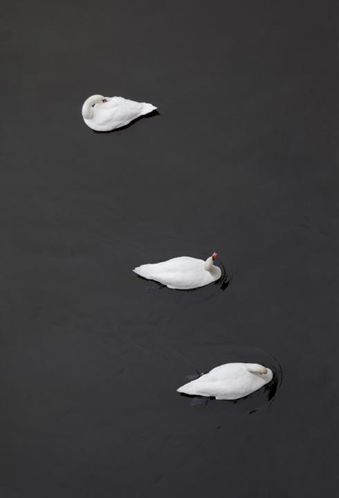 Swan #5320, 2017, archival pigment print on photo rag, 20 x 30 in, $1,800; 27 x 40 in, $2600