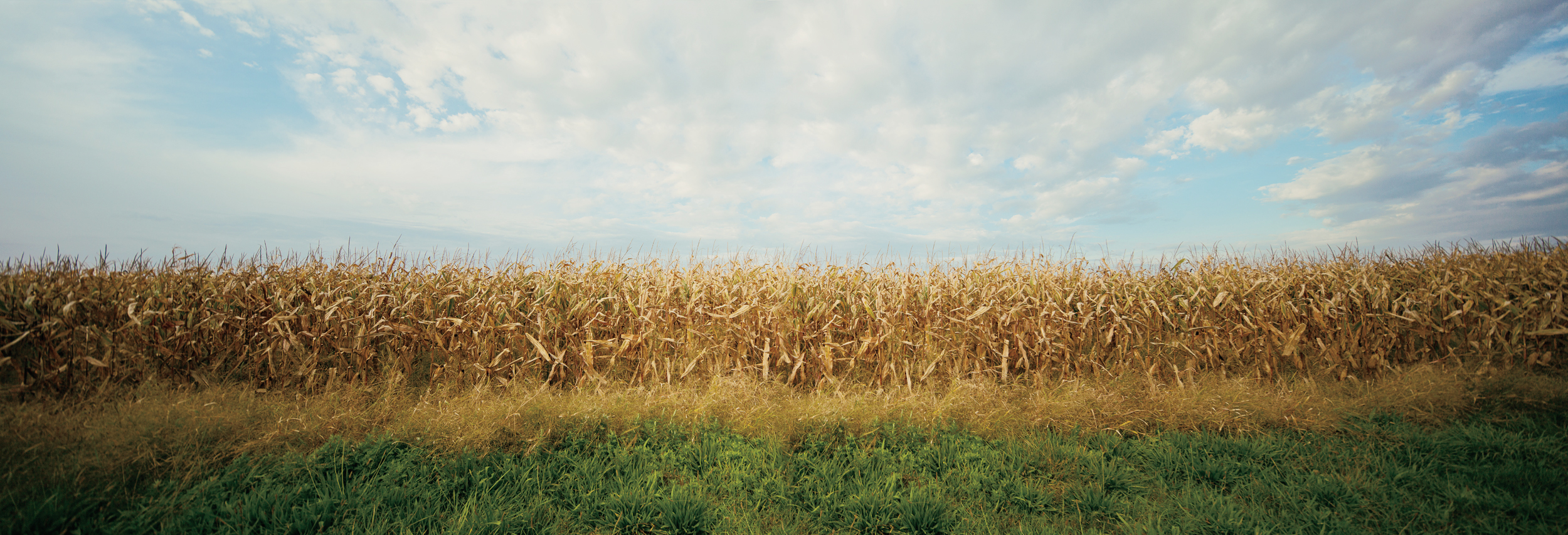 Sagaponack Corn, 2018, photo on aluminum, 72 x 23.75 in, edition of 5 (2 available), $5,000