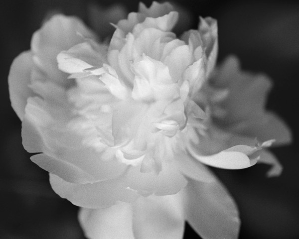 No. 1 Peony, 2014, photo from negative film, 16 x 20 in, $950 (other sizes available; priced accordingly)