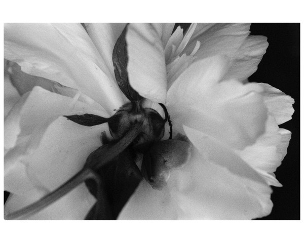 Peony, 2014, photo from negative film (can be printed in sepia), 16 x 20 in, $950 (other sizes available; priced accordingly