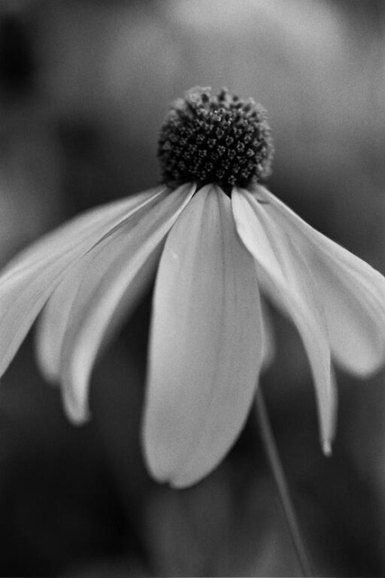 Black Eyed Susan, 2014, photo from negative film (can be printed in sepia, 16 x 20 in, $950 (other sizes available; priced accordingly)