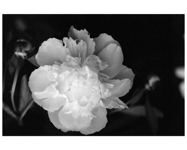 Peony, 2014, photo from negative film (can be printed in sepia), 16 x 20 in, $950 (other sizes available; priced accordingly)