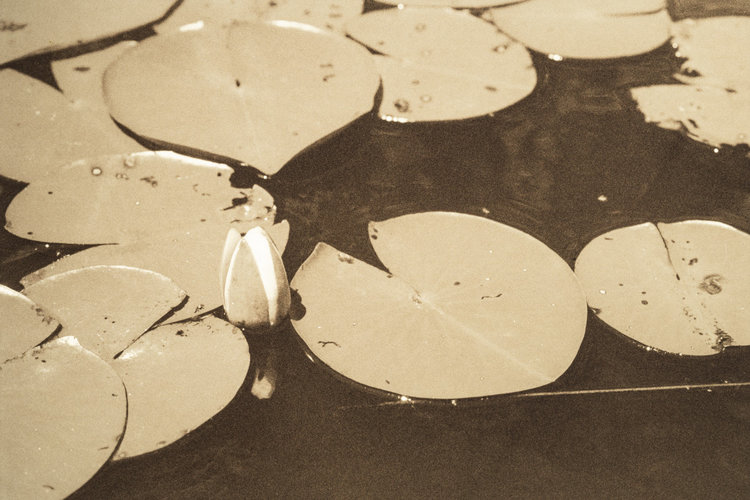 Waterlilies Series, 2018, sepia tone photograph on gold-toned metal, 9 x 12 in, $750 each; $21,00 for installation of 28