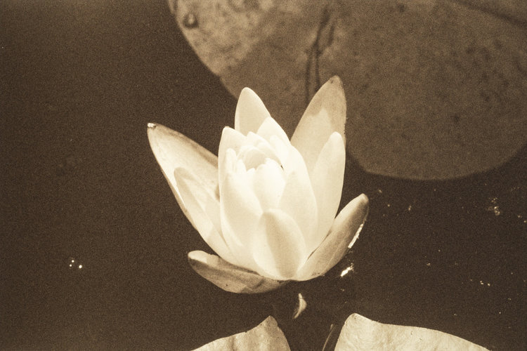 Waterlilies series, 2018, sepia tone photograph on gold-toned metal, 91 x 12 in, $750 each; $21,000 for installation of 28