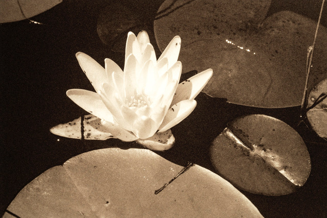 Waterlilies series, 2018, sepia tone photograph on gold-toned metal, 9 x 12 in, $750 each; $21,000 for installation of 28