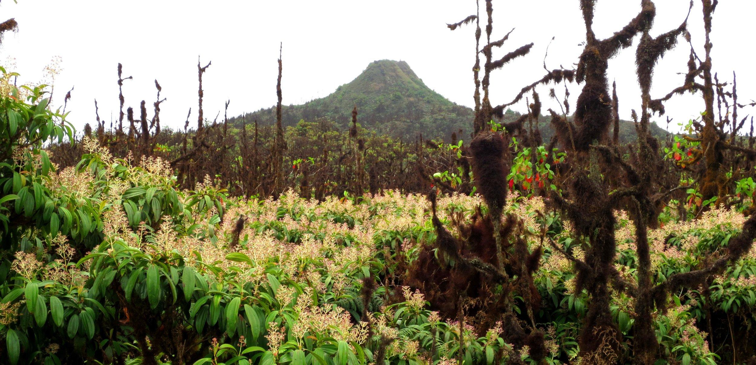 Figura 2 . Un bosque con  Miconia robinsoníana  en el area protegida de Media Luna, Isla Santa Cruz. Foto: Paulina Couenberg