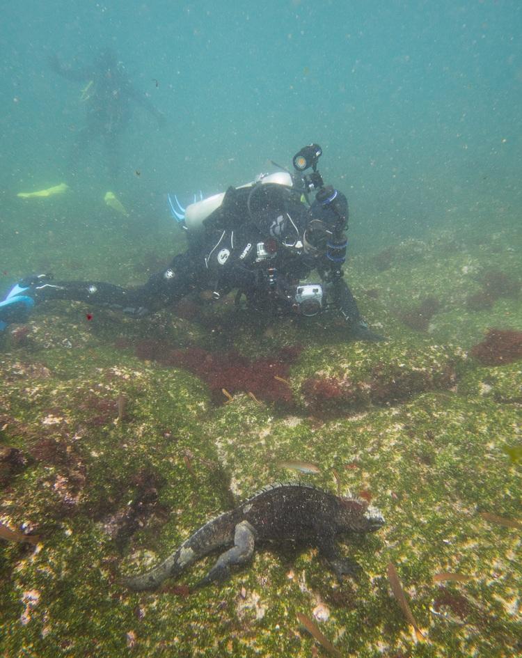 Figura 3 . Buzo tomando fotografías de una iguana marina alimentándose a poca profundidad en Cabo Douglas, Fernandina. Foto: Nicolas Moity/Fundación Charles Darwin