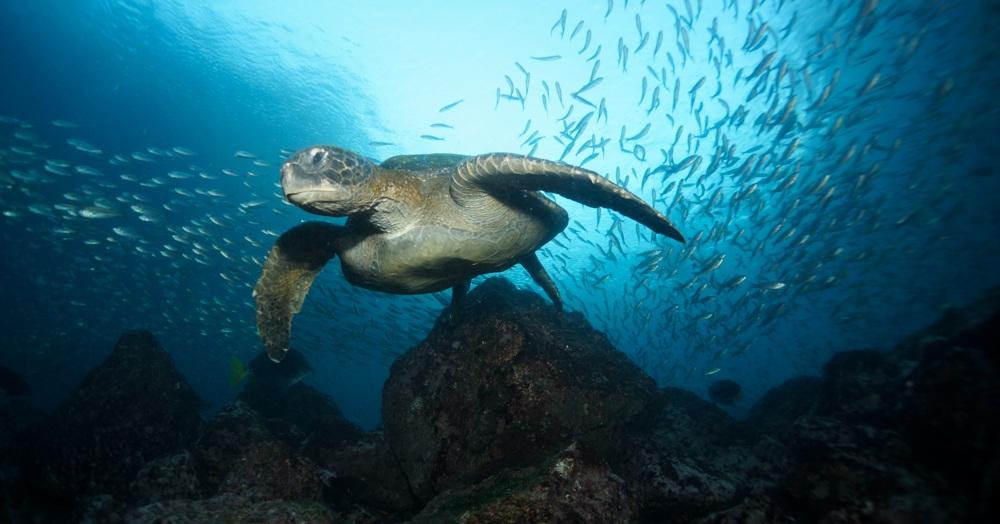 Figura 1 . Tortuga verde entre salemas en Daphne Menor. Foto: Nicolas Moity/Fundación Charles Darwin