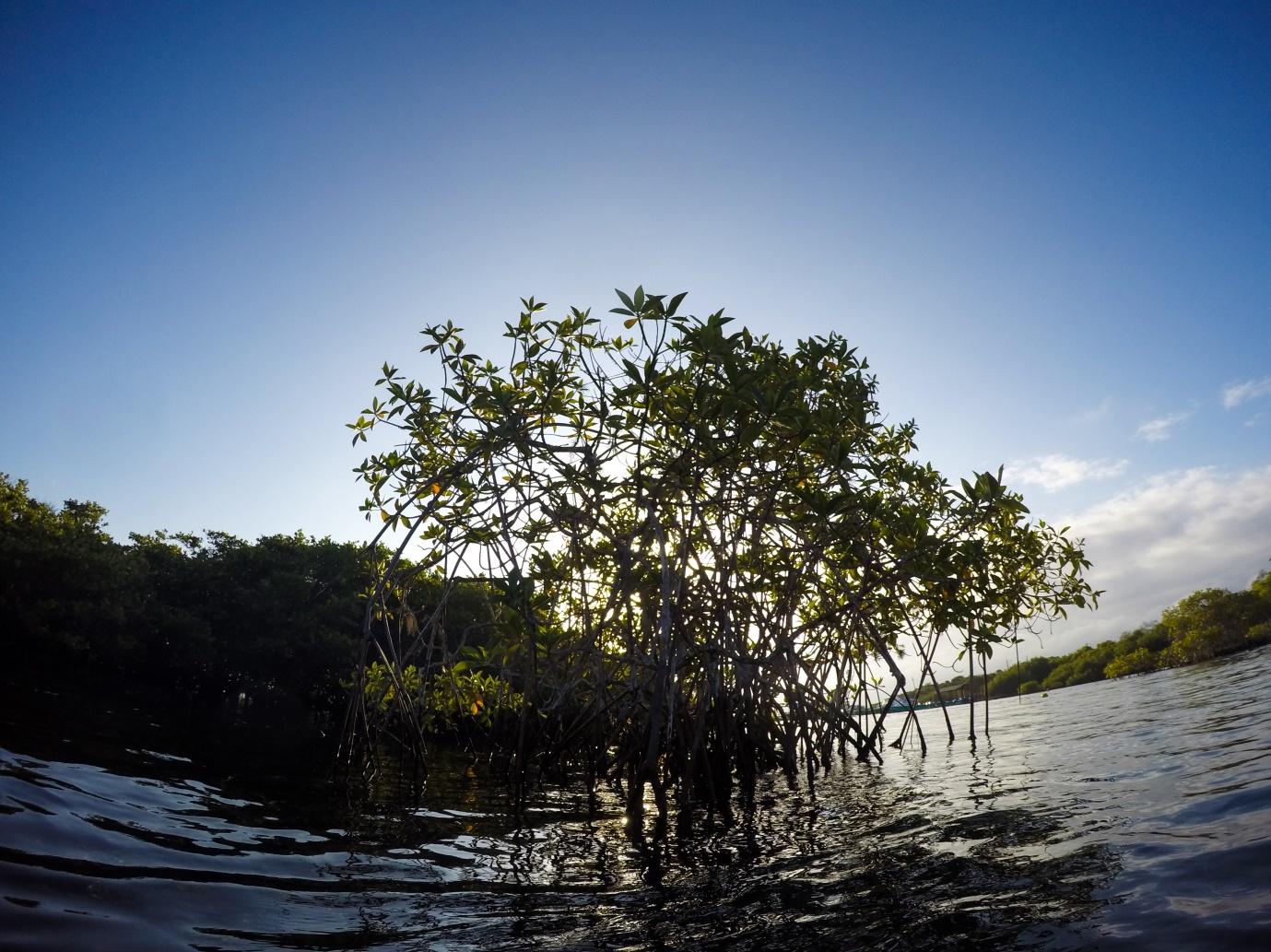 Figure 1 . Mangroves in Galapagos. Photo: Nicolas Moity/ Charles Darwin Foundation
