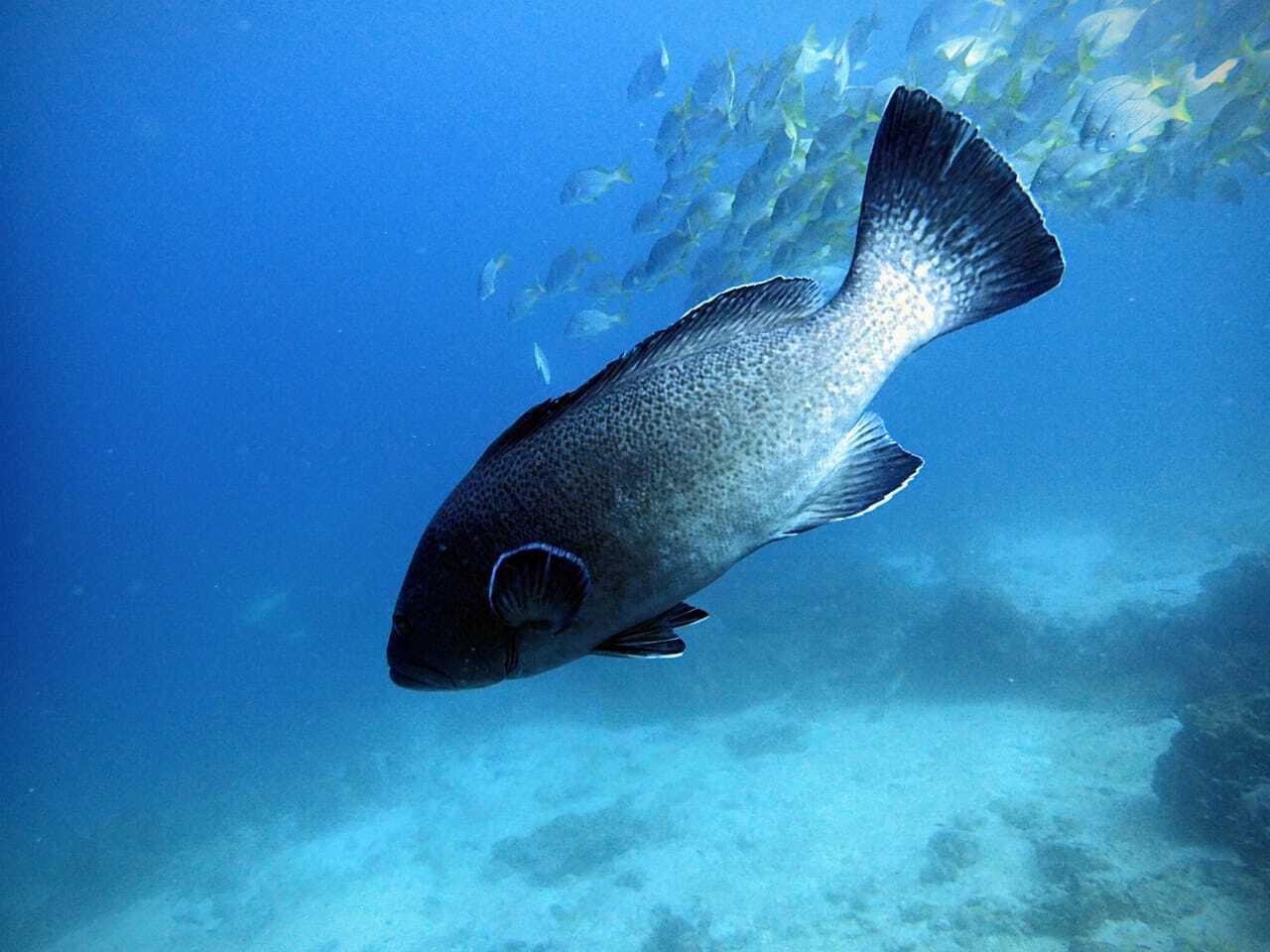 Figure 1.  Galapagos grouper. Photo: Salomé Buglass, Charles Darwin Foundation