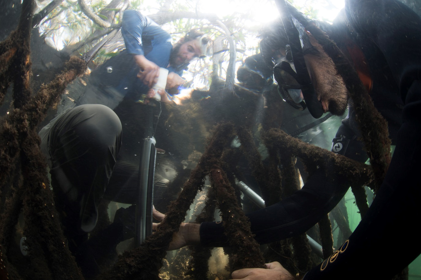 Figure 2 . Science in action: sampling of mangrove sediment cores for carbon measurements. Using a Russian peat corer, we took sediment cores at depth increments of 25 cm, then dried and weighed them for lab analysis. Photo: Octavio Aburto / Charles Darwin Foundation