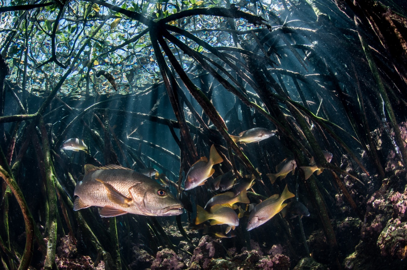 Figure 4.  Snappers swim between submerged mangrove roots in the Galapagos Archipelago. Photo: Enric Sala / National Geographic Pristine Seas