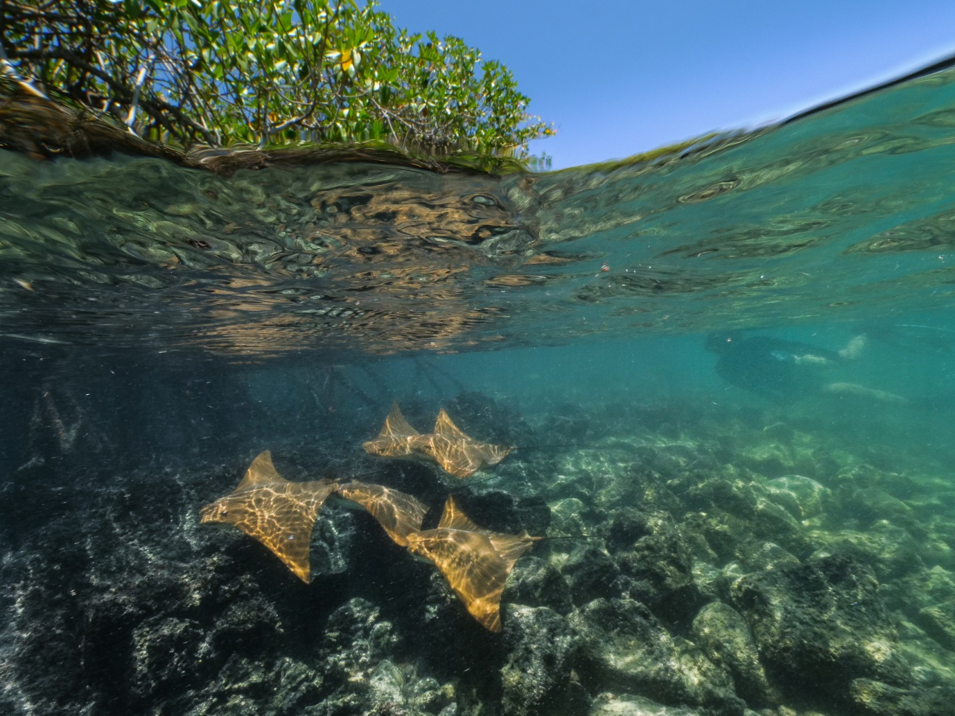 Figure 5.  Snorkelling with golden rays in Galapagos mangrove bays. Photo: Pelayo Salinas de León / Charles Darwin Foundation
