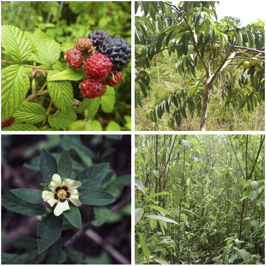 Figure 3 . The four most problematic invasive plants in the agriculture zone of Santa Cruz (clockwise): blackberry, guava, sauco, and escoba. Photos: Heinke Jäger, Conley McMullen, Charles Darwin Foundation archives