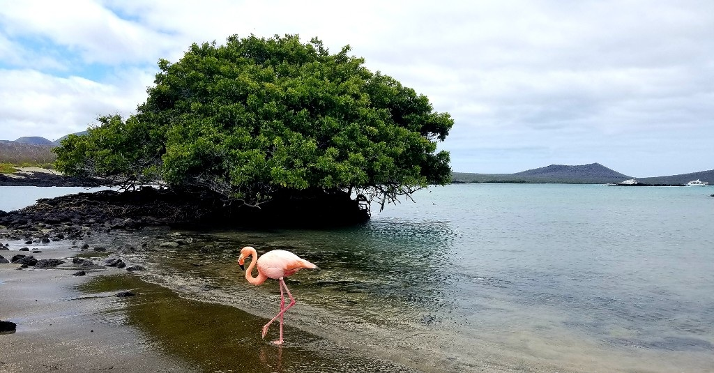 Figure 5 . Flamingo at Baroness' Lookout. Photo: WWF Ecuador