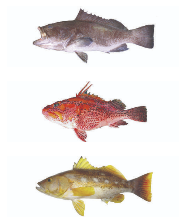 Figure 2.  From Top to bottom: Galapagos grouper, sand bass and mottled scorpionfish. Source: Charles Darwin Foundation archives