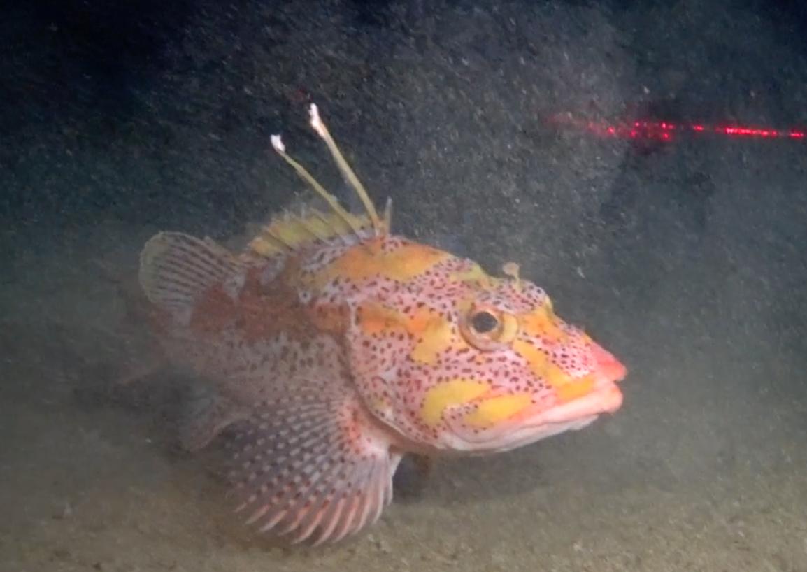 Figure 4 . Mottled scorpionfish. Photo: Salomé Buglass, Charles Darwin Foundation