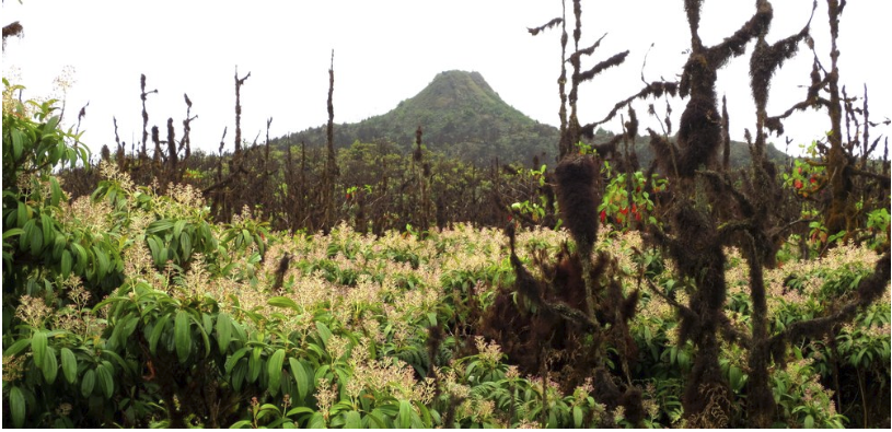 Figure 2 . A forest of  Miconia robinsoníana  in the protected area at Media Luna, Isla Santa Cruz. Photo: Paulina Couenberg