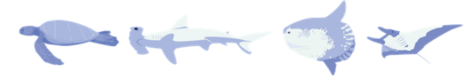 Figure 1 . Some of the megafauna that inhabits the Galapagos Marine Reserve. From left to right: green sea turtle, hammerhead shark, ocean sunfish, giant oceanic manta ray. Source: Shark Count Galapagos