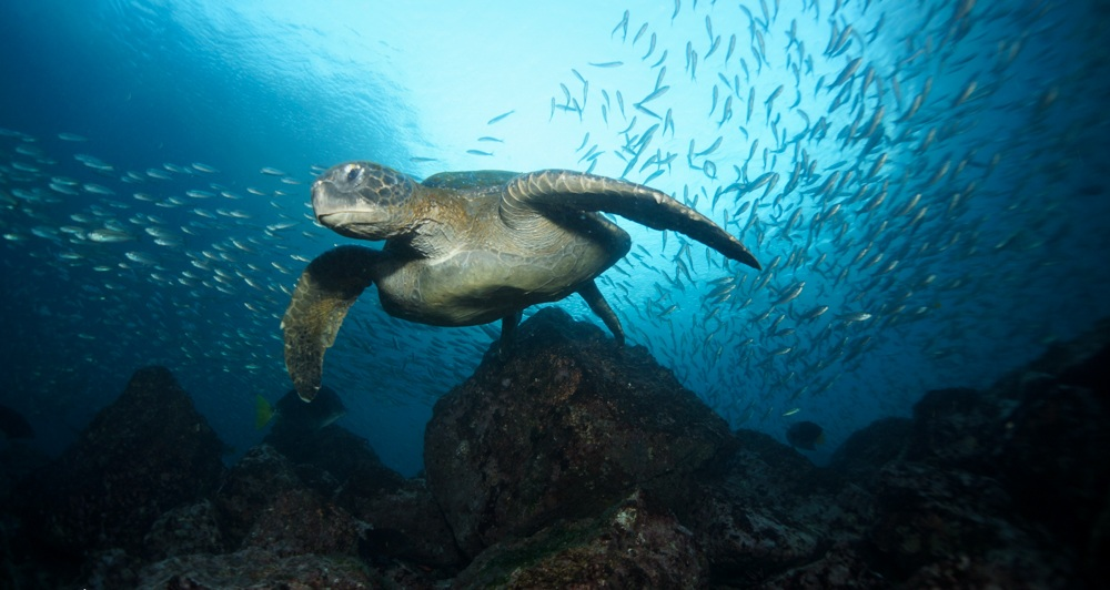 Figure 1 . Green turtle surrounded by Pacific creolefish at Daphne Menor. Photo: Nicolas Moity/Charles Darwin Foundation