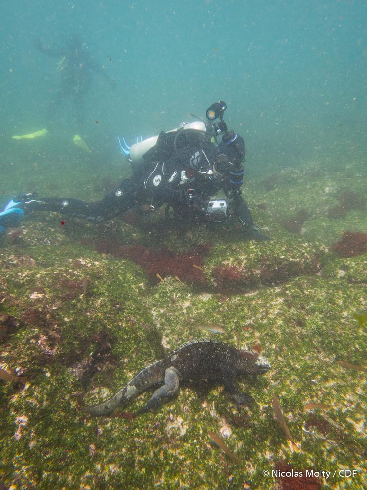 Figure 3 . Diver taking photographs of a marine iguana feeding in shallow water at Cabo Douglas, Fernandina Island. Photo: Nicolas Moity/Charles Darwin Foundation