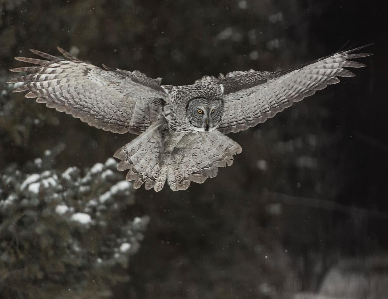 _DSC4481_Soaring Owl_Crop11x8.5 300dpi_v2.jpeg