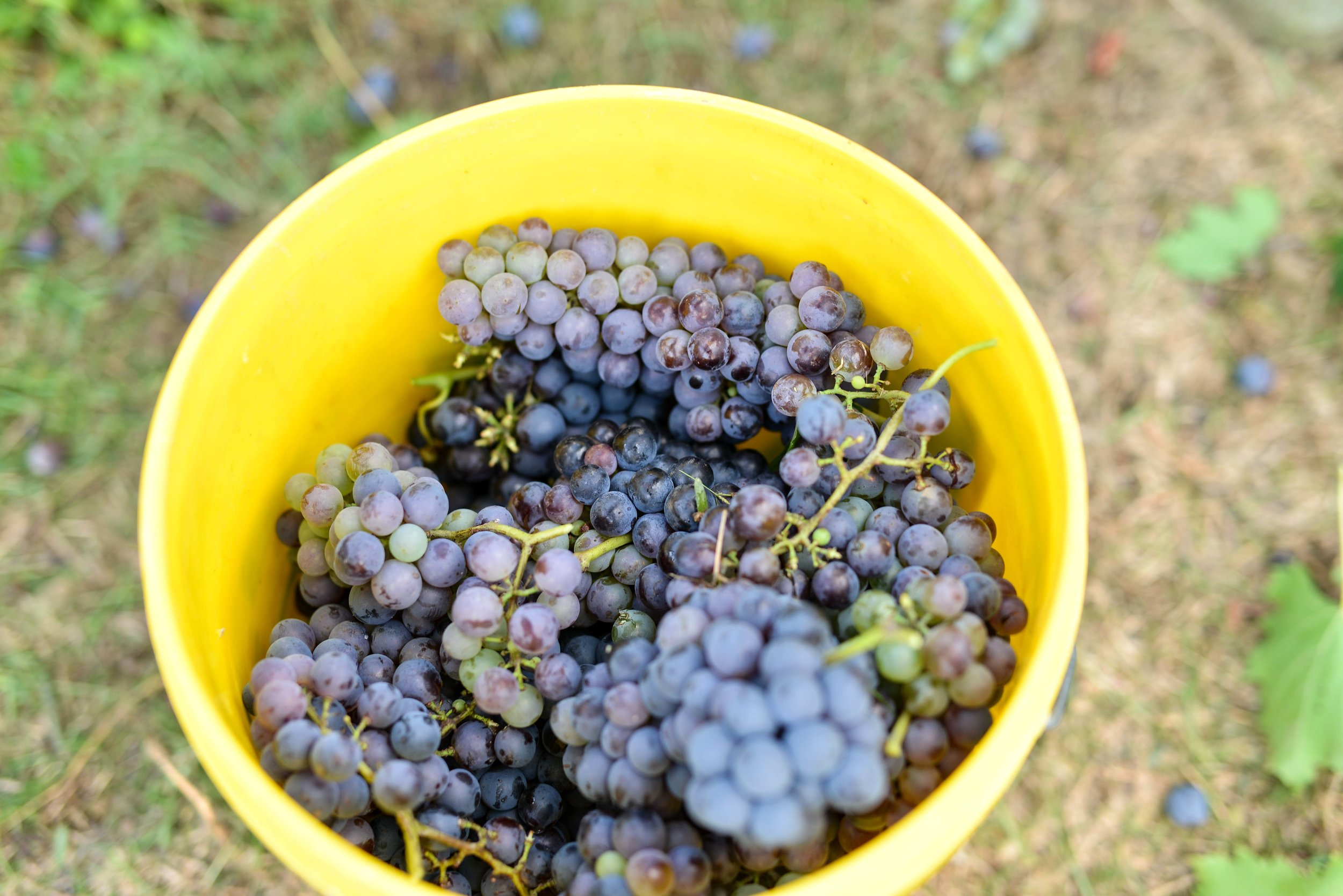 Raleigh Winery First Harvest-274.jpg