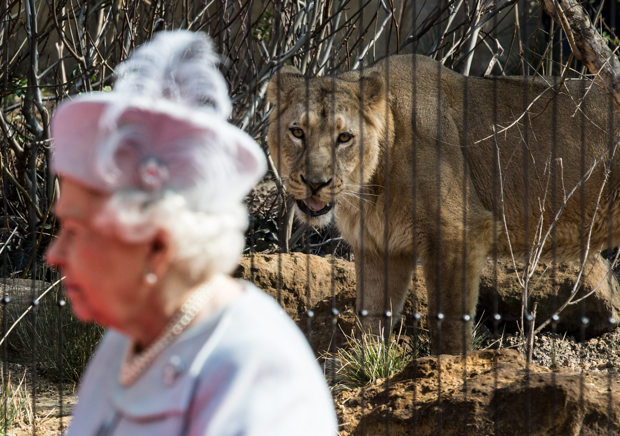 Queen Elizabeth II and an Asiatic Lion at the opening of London Zoo's 'Land of the Lions'