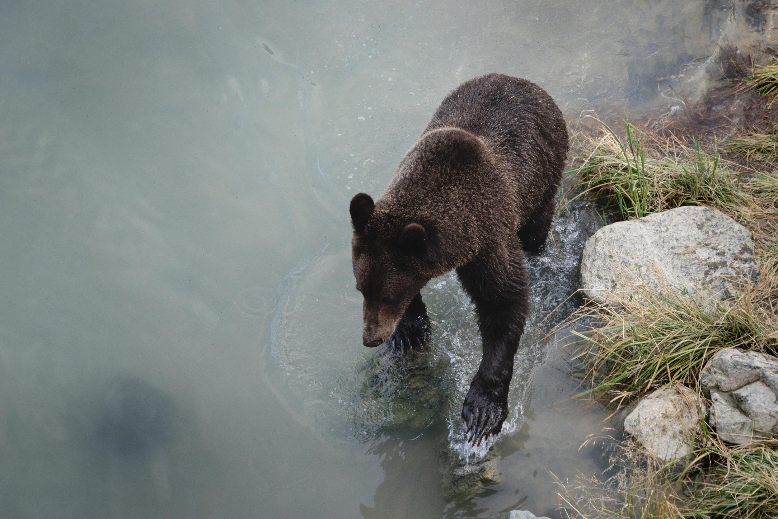 Brown bear fishing for salmon   Photo - Adam Sarceno