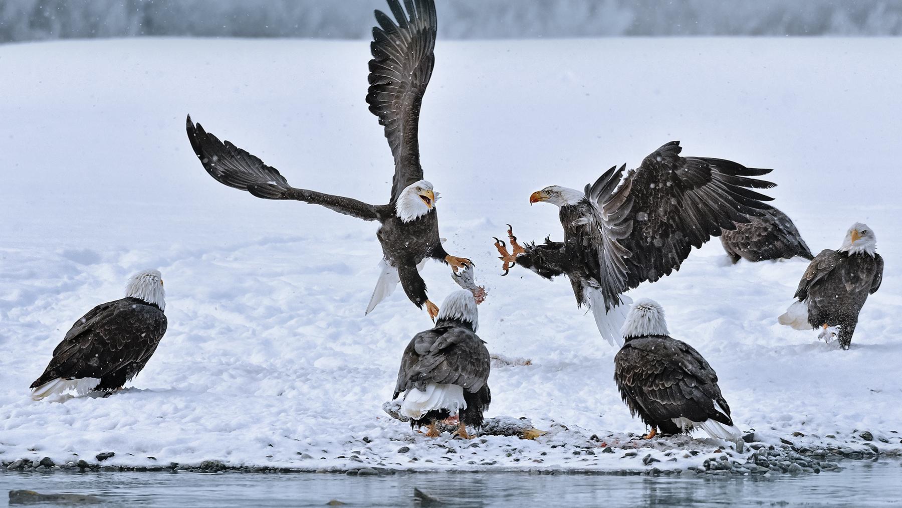 Bald eagles gathering on Chilkat River   Photo - Brian Rivera Uncapher