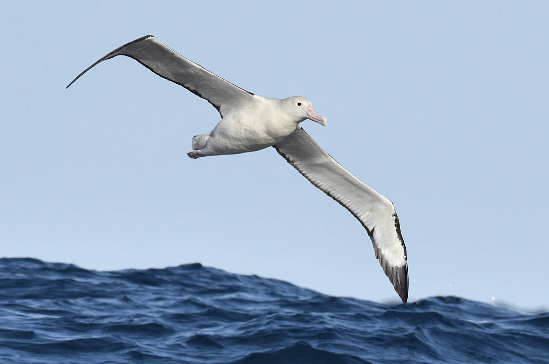 A Northern Royal Albatross - just one of the many endangered seabirds at risk of drowning from long-line fishing, deaths that Hookpods could help prevent.